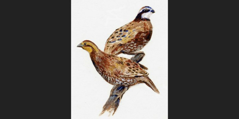 Quail Illustration