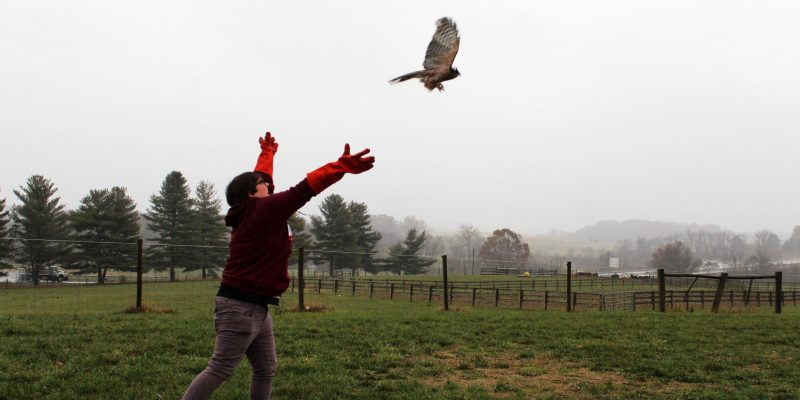 A researcher spreads her arms to release a rehabilitated hawk as it flies away.