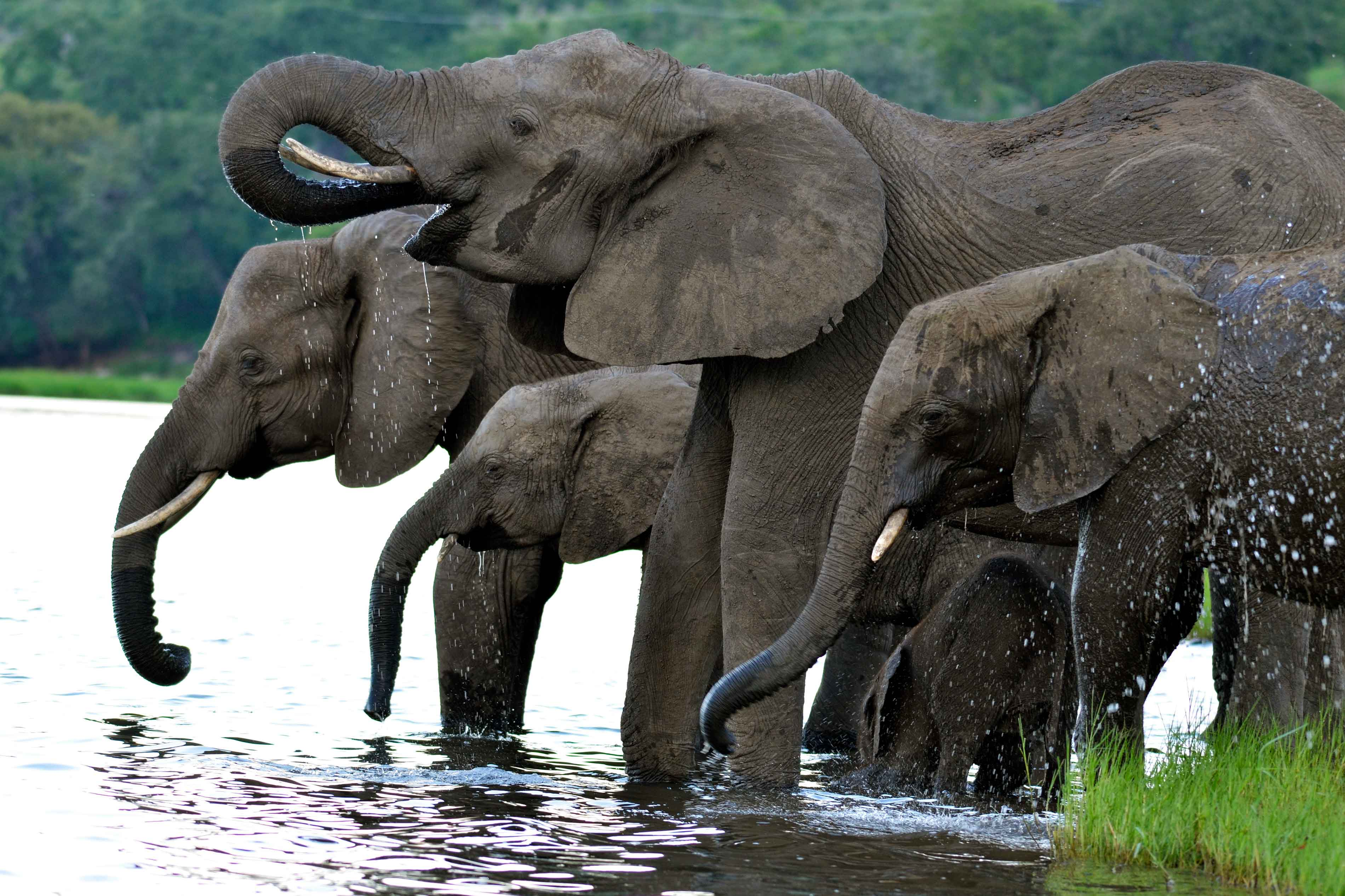 Elephants drinking and splashing water.