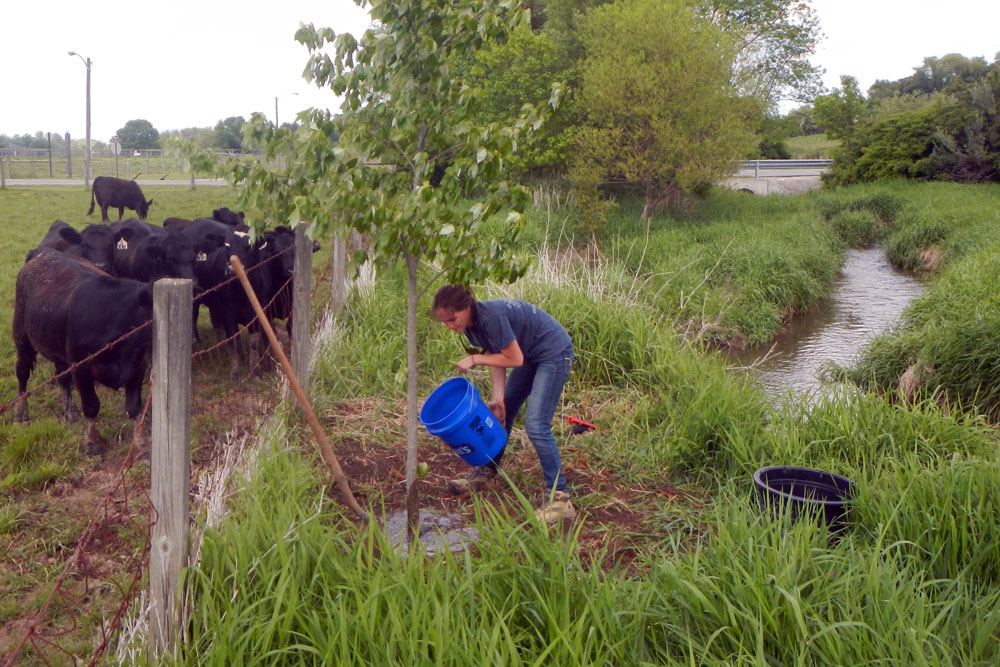 A volunteer uses a blue bucket to water a tree across the fence from onlooking cows.