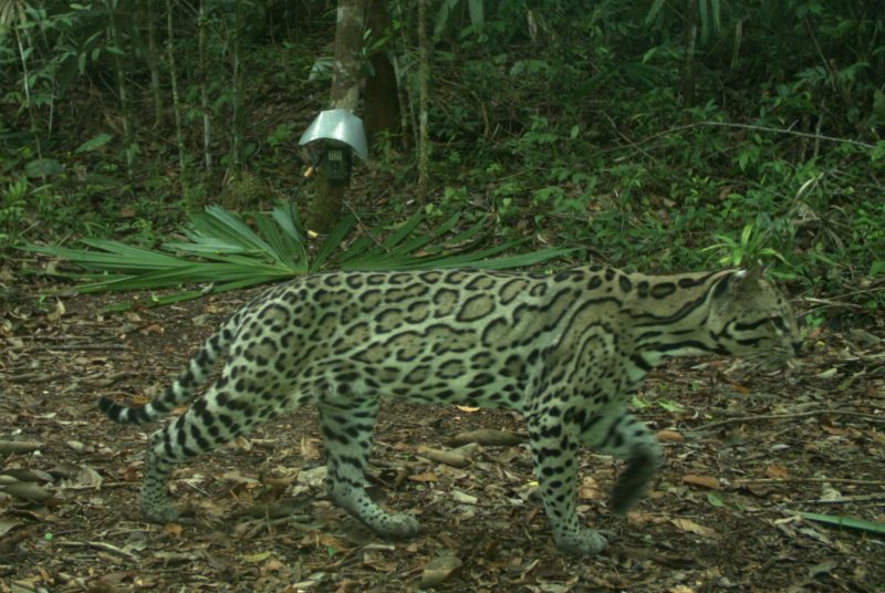 An ocelot walks through a forested area. A camera is mounted on a tree in the background.
